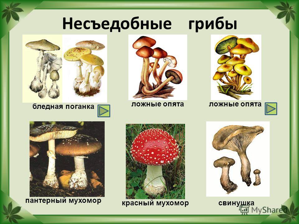 Несъедобные грибы бледная поганка ложные опята пантерный мухомор красный мухомор ложные опята свинушка