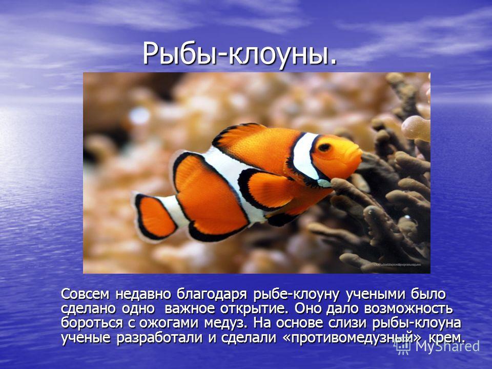 Рыбы-клоуны. Совсем недавно благодаря рыбе-клоуну учеными было сделано одно важное открытие. Оно дало возможность бороться с ожогами медуз. На основе слизи рыбы-клоуна ученые разработали и сделали «противомедузный» крем.