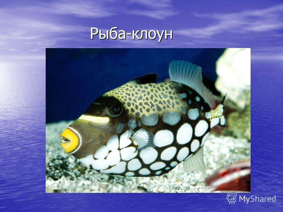 Рыба-клоун Рыба-клоун