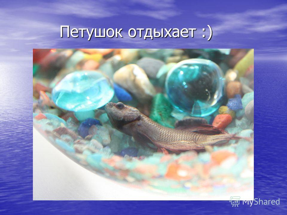 Петушок отдыхает :)