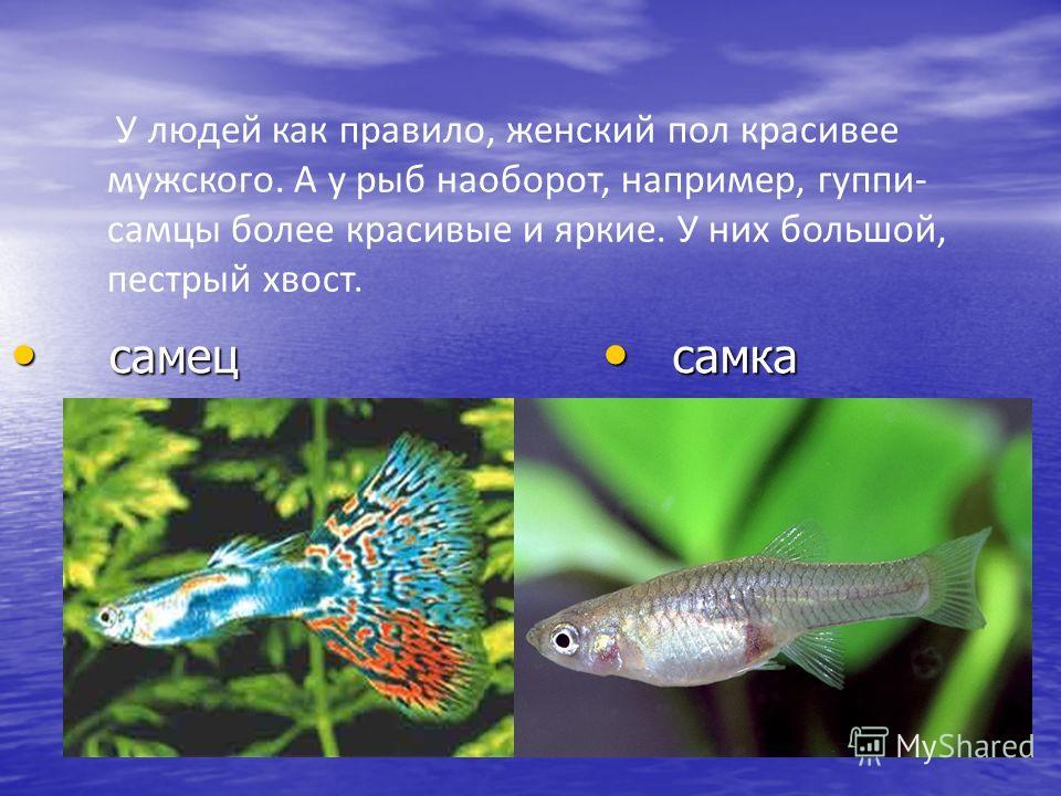 У людей как правило, женский пол красивее мужского. А у рыб наоборот, например, гуппи- самцы более красивые и яркие. У них большой, пестрый хвост. самец самец самка самка