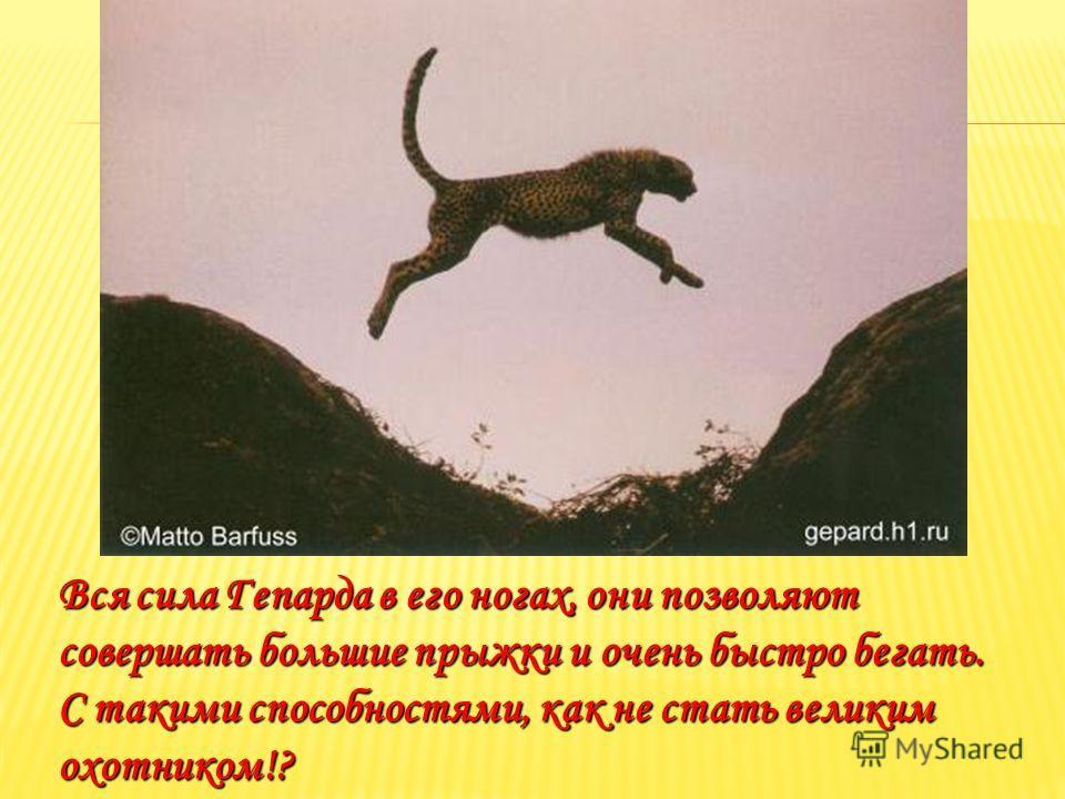 Вся сила Гепарда в его ногах, они позволяют совершать большие прыжки и очень быстро бегать. С такими способностями, как не стать великим охотником!?