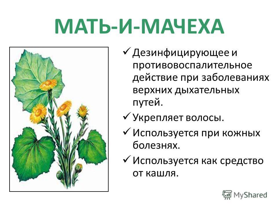 МАТЬ-И-МАЧЕХА Дезинфицирующее и противовоспалительное действие при заболеваниях верхних дыхательных путей. Укрепляет волосы. Используется при кожных болезнях. Используется как средство от кашля.