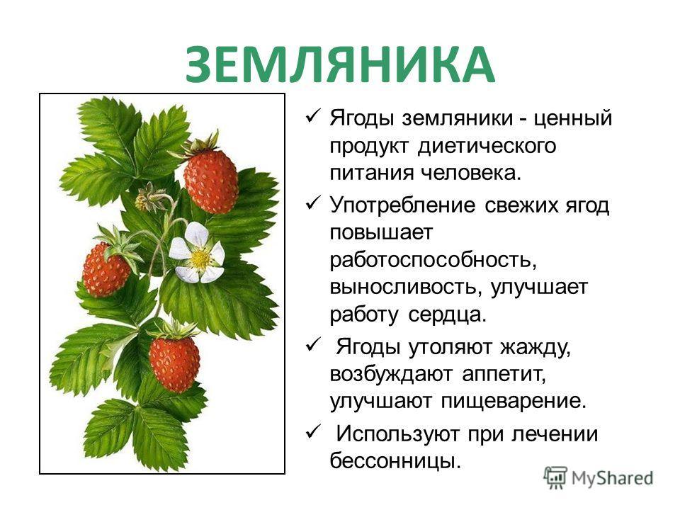 ЗЕМЛЯНИКА Ягоды земляники - ценный продукт диетического питания человека. Употребление свежих ягод повышает работоспособность, выносливость, улучшает работу сердца. Ягоды утоляют жажду, возбуждают аппетит, улучшают пищеварение. Используют при лечении