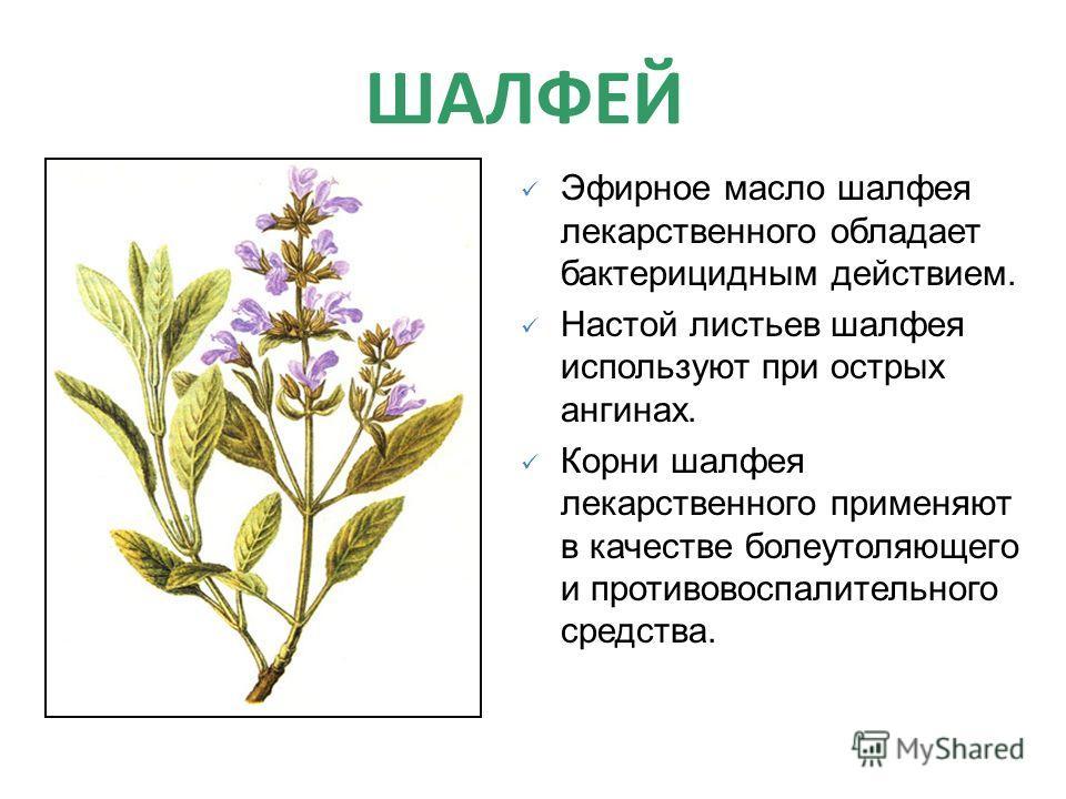 ШАЛФЕЙ Эфирное масло шалфея лекарственного обладает бактерицидным действием. Настой листьев шалфея используют при острых ангинах. Корни шалфея лекарственного применяют в качестве болеутоляющего и противовоспалительного средства.