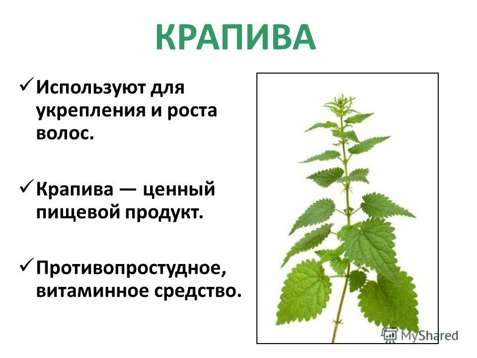 КРАПИВА Используют для укрепления и роста волос. Крапива ценный пищевой продукт. Противопростудное, витаминное средство.
