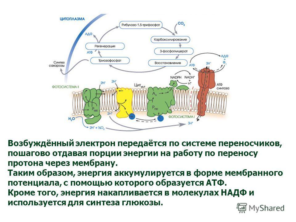 Возбуждённый электрон передаётся по системе переносчиков, пошагово отдавая порции энергии на работу по переносу протона через мембрану. Таким образом, энергия аккумулируется в форме мембранного потенциала, с помощью которого образуется АТФ. Кроме тог