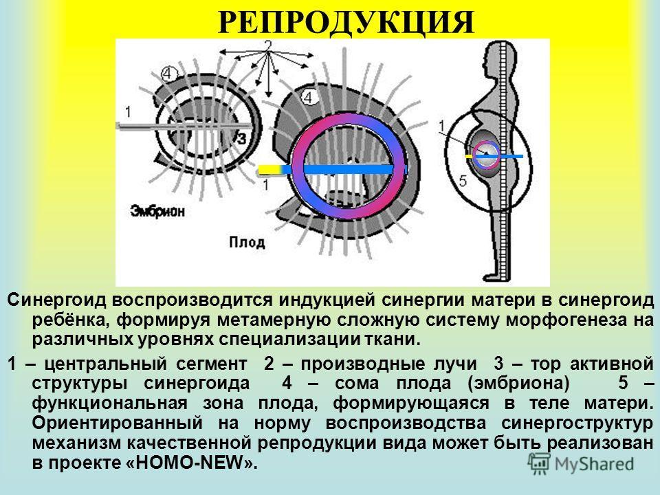 РЕПРОДУКЦИЯ Синергоид воспроизводится индукцией синергии матери в синергоид ребёнка, формируя метамерную сложную систему морфогенеза на различных уровнях специализации ткани. 1 – центральный сегмент 2 – производные лучи 3 – тор активной структуры син