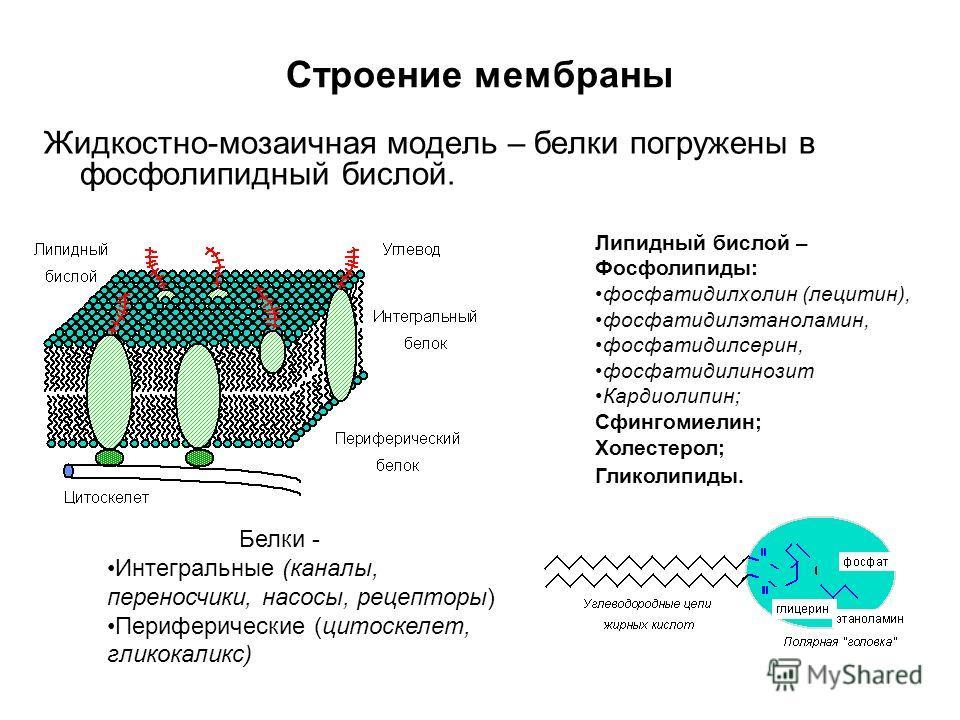 Строение мембраны Жидкостно-мозаичная модель – белки погружены в фосфолипидный бислой. Липидный бислой – Фосфолипиды: фосфатидилхолин (лецитин), фосфатидилэтаноламин, фосфатидилсерин, фосфатидилинозит Кардиолипин; Сфингомиелин; Холестерол; Гликолипид