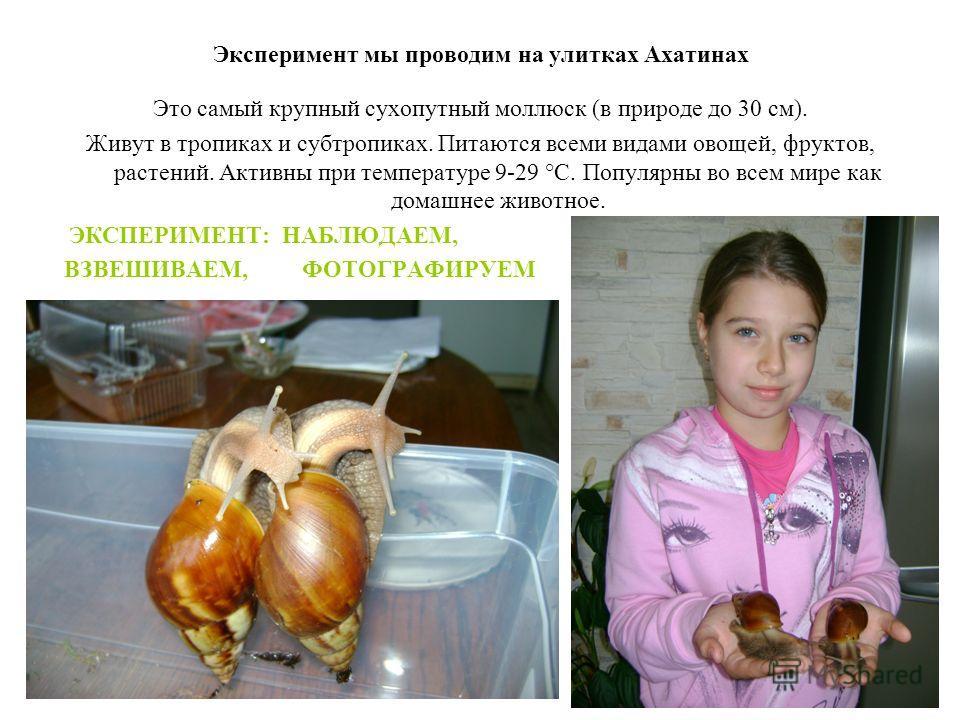 Эксперимент мы проводим на улитках Ахатинах Это самый крупный сухопутный моллюск (в природе до 30 см). Живут в тропиках и субтропиках. Питаются всеми видами овощей, фруктов, растений. Активны при температуре 9-29 °C. Популярны во всем мире как домашн