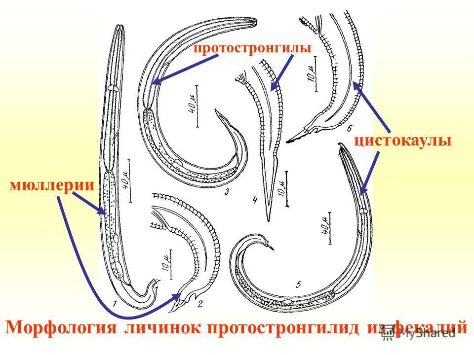 Морфология личинок протостронгилид из фекалий мюллерии протостронгилы цистокаулы