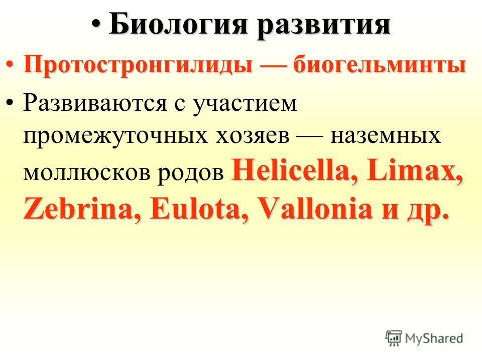 Биология развитияБиология развития Протостронгилиды биогельминтыПротостронгилиды биогельминты Helicella, Limax, Zebrina, Eulota, Vallonia и др.Развиваются с участием промежуточных хозяев наземных моллюсков родов Helicella, Limax, Zebrina, Eulota, Val