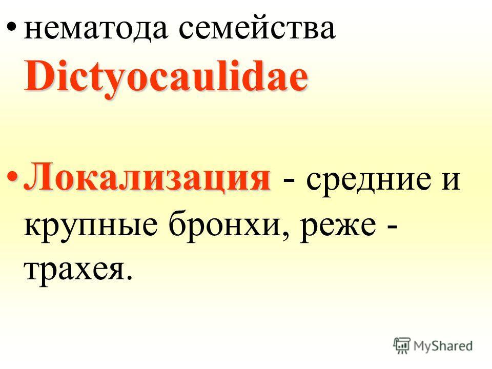 Dictyocaulidaeнематода семейства Dictyocaulidae ЛокализацияЛокализация - средние и крупные бронхи, реже - трахея.