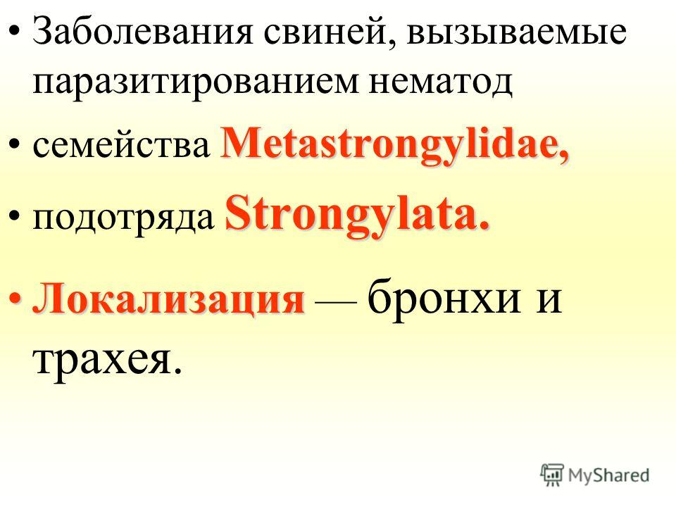 Заболевания свиней, вызываемые паразитированием нематод Metastrongylidae,семейства Metastrongylidae, Strongylata.подотряда Strongylata. ЛокализацияЛокализация бронхи и трахея.