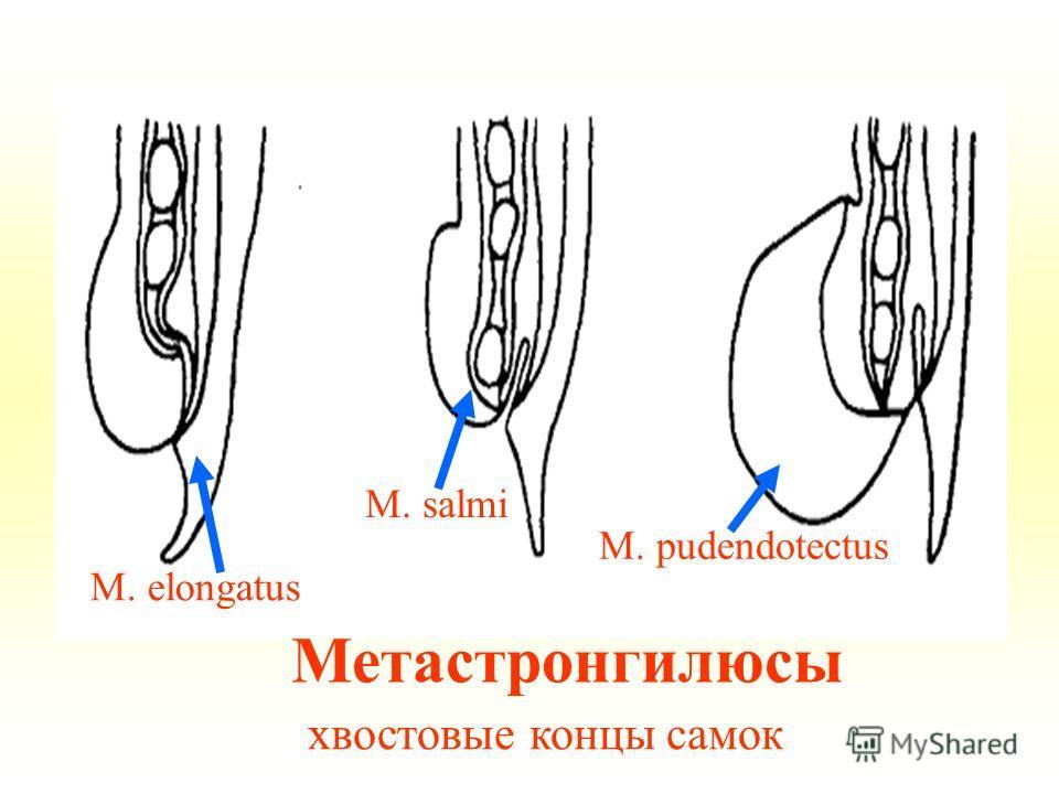 Метастронгилюсы хвостовые концы самок M. elongatus M. salmi M. pudendotectus