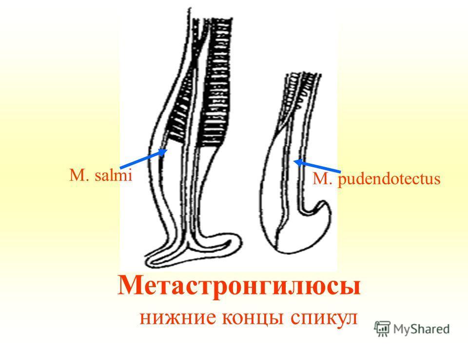 Метастронгилюсы нижние концы спикул M. salmi M. pudendotectus