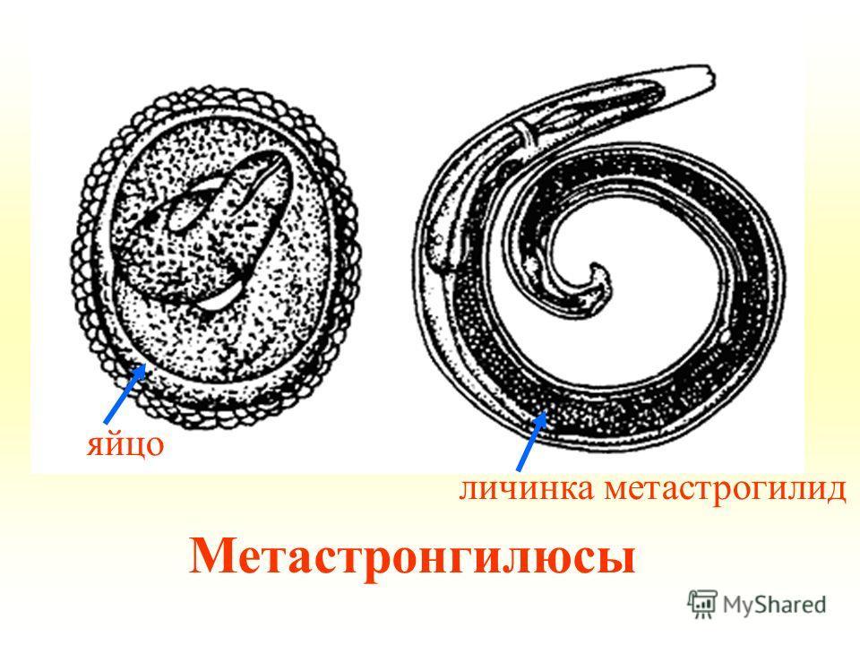 Метастронгилюсы личинка метастрогилид яйцо