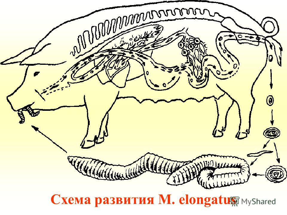 Схема развития M. elongatus