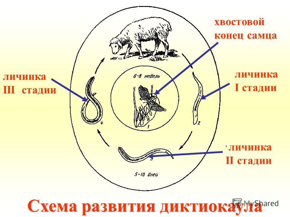 Схема развития диктиокаула хвостовой конец самца личинка I стадии ' личинка II стадии личинка III стадии