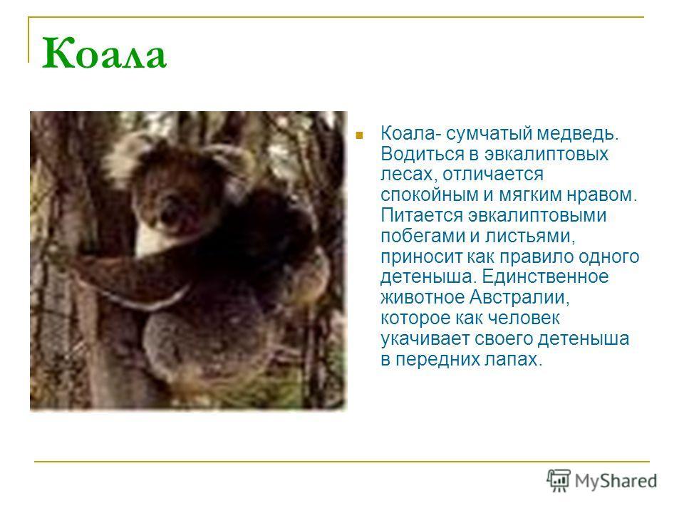 Коала Коала- сумчатый медведь. Водиться в эвкалиптовых лесах, отличается спокойным и мягким нравом. Питается эвкалиптовыми побегами и листьями, приносит как правило одного детеныша. Единственное животное Австралии, которое как человек укачивает своег