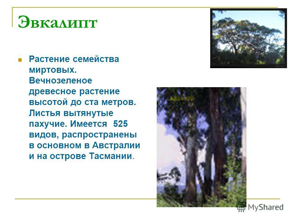 Эвкалипт Растение семейства миртовых. Вечнозеленое древесное растение высотой до ста метров. Листья вытянутые пахучие. Имеется 525 видов, распространены в основном в Австралии и на острове Тасмании.
