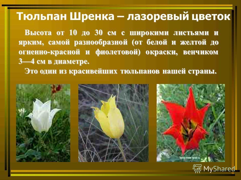 Тюльпан Шренка – лазоревый цветок Высота от 10 до 30 см с широкими листьями и ярким, самой разнообразной (от белой и желтой до огненно-красной и фиолетовой) окраски, венчиком 34 см в диаметре. Высота от 10 до 30 см с широкими листьями и ярким, самой