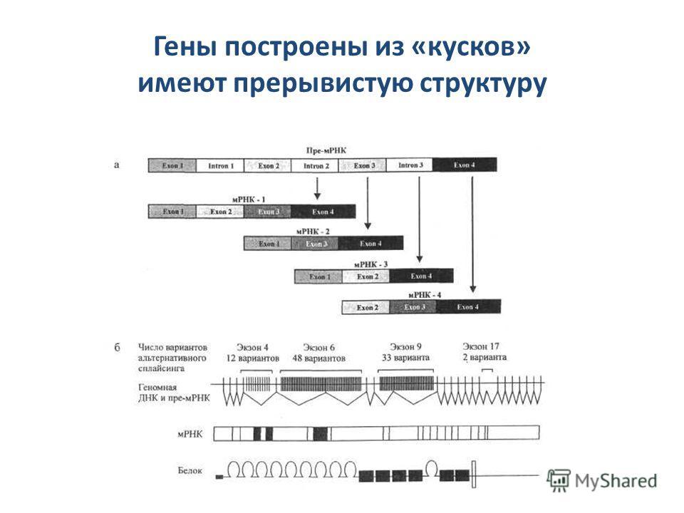 Гены построены из «кусков» имеют прерывистую структуру