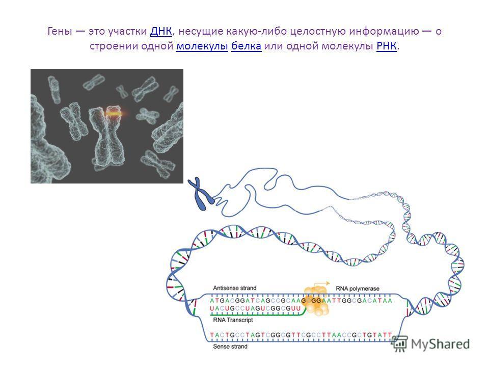 Гены это участки ДНК, несущие какую-либо целостную информацию о строении одной молекулы белка или одной молекулы РНК.ДНКмолекулыбелкаРНК