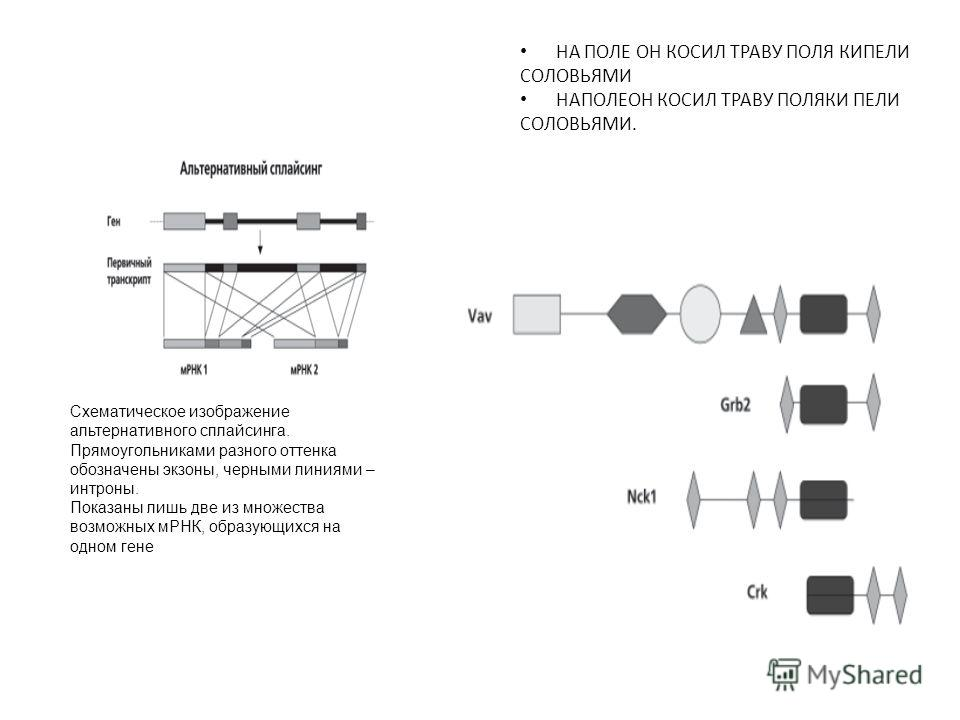 Схематическое изображение альтернативного сплайсинга. Прямоугольниками разного оттенка обозначены экзоны, черными линиями – интроны. Показаны лишь две из множества возможных мРНК, образующихся на одном гене НА ПОЛЕ ОН КОСИЛ ТРАВУ ПОЛЯ КИПЕЛИ СОЛОВЬЯМ