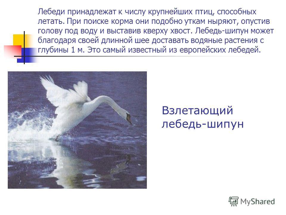 Лебеди принадлежат к числу крупнейших птиц, способных летать. При поиске корма они подобно уткам ныряют, опустив голову под воду и выставив кверху хвост. Лебедь-шипун может благодаря своей длинной шее доставать водяные растения с глубины 1 м. Это сам