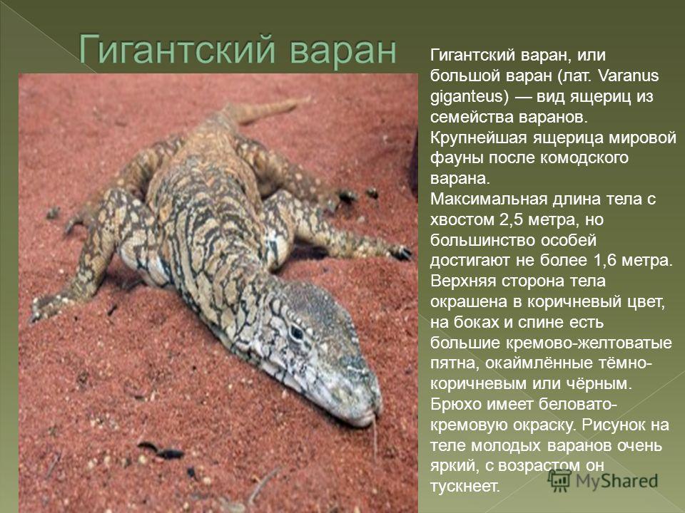Гигантский варан, или большой варан (лат. Varanus giganteus) вид ящериц из семейства варанов. Крупнейшая ящерица мировой фауны после комодского варана. Максимальная длина тела с хвостом 2,5 метра, но большинство особей достигают не более 1,6 метра. В