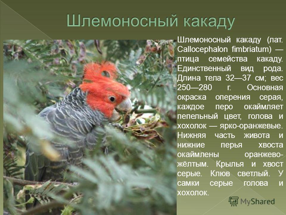 Шлемоносный какаду (лат. Callocephalon fimbriatum) птица семейства какаду. Единственный вид рода. Длина тела 3237 см; вес 250280 г. Основная окраска оперения серая, каждое перо окаймляет пепельный цвет, голова и хохолок ярко-оранжевые. Нижняя часть ж