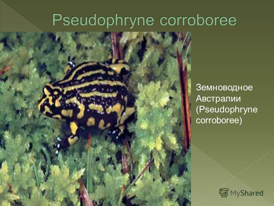 Земноводное Австралии (Pseudophryne corroboree)