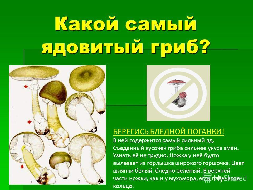 Какой самый ядовитый гриб? Какой самый ядовитый гриб? БЕРЕГИСЬ БЛЕДНОЙ ПОГАНКИ! В ней содержится самый сильный яд. Съеденный кусочек гриба сильнее укуса змеи. Узнать её не трудно. Ножка у неё будто вылезает из горлышка широкого горшочка. Цвет шляпки