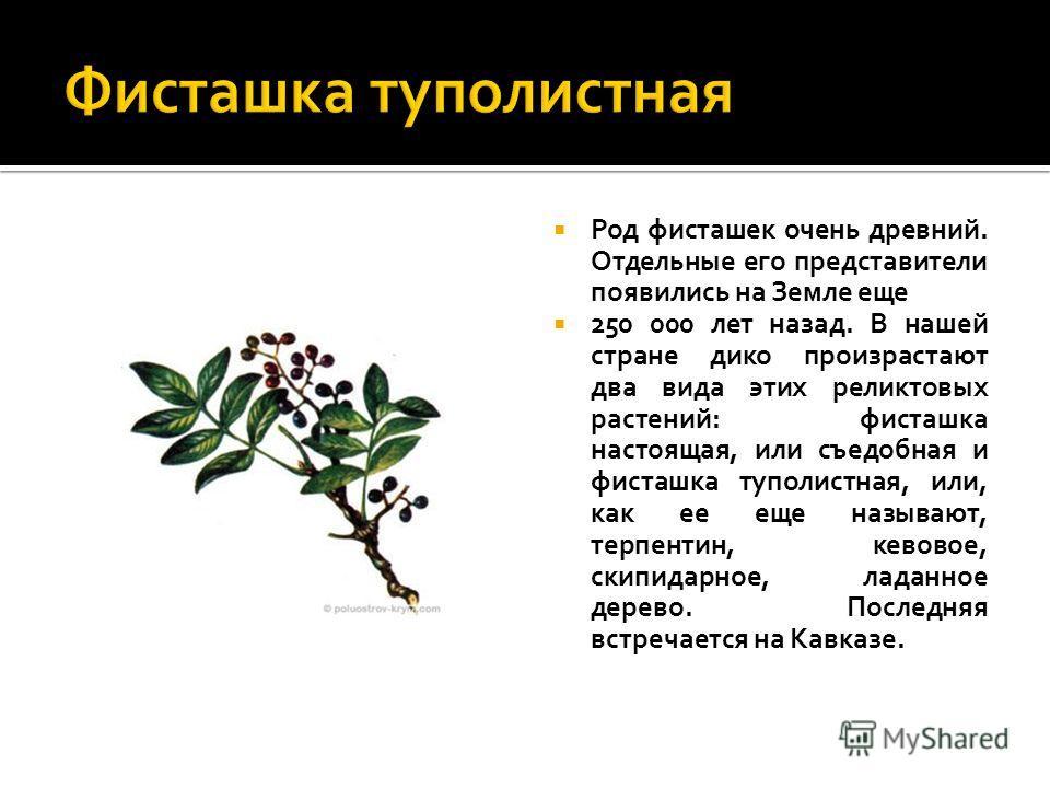 Род фисташек очень древний. Отдельные его представители появились на Земле еще 250 000 лет назад. В нашей стране дико произрастают два вида этих реликтовых растений: фисташка настоящая, или съедобная и фисташка туполистная, или, как ее еще называют,
