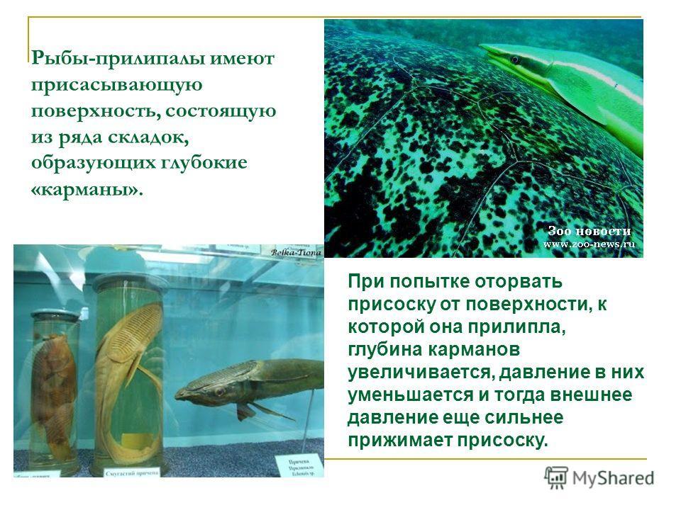 Рыбы-прилипалы имеют присасывающую поверхность, состоящую из ряда складок, образующих глубокие «карманы». При попытке оторвать присоску от поверхности, к которой она прилипла, глубина карманов увеличивается, давление в них уменьшается и тогда внешнее