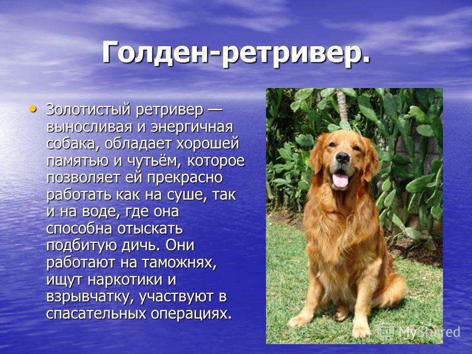 Голден-ретривер. Золотистый ретривер выносливая и энергичная собака, обладает хорошей памятью и чутьём, которое позволяет ей прекрасно работать как на суше, так и на воде, где она способна отыскать подбитую дичь. Они работают на таможнях, ищут наркот