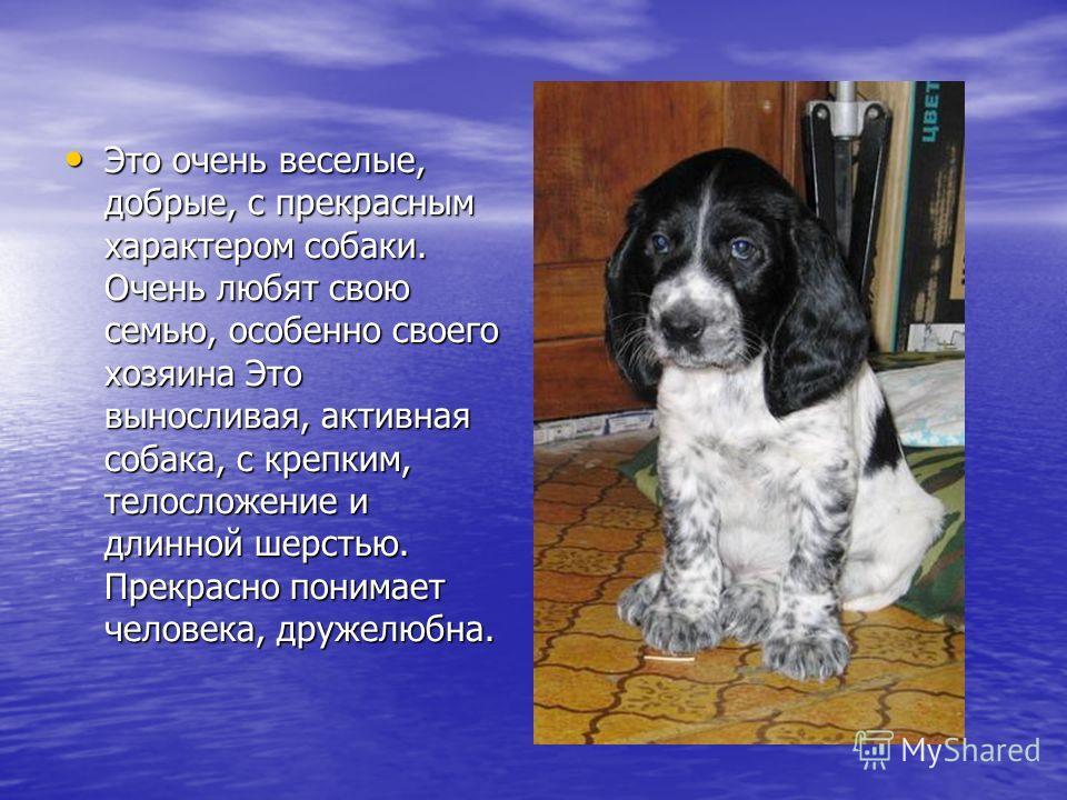 Это очень веселые, добрые, с прекрасным характером собаки. Очень любят свою семью, особенно своего хозяина Это выносливая, активная собака, с крепким, телосложение и длинной шерстью. Прекрасно понимает человека, дружелюбна. Это очень веселые, добрые,