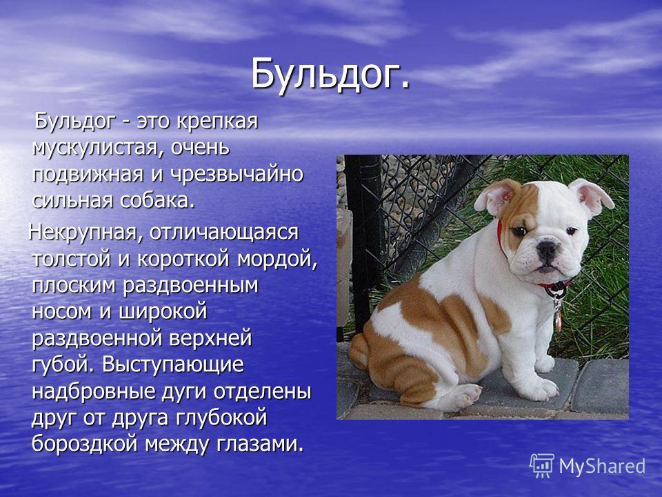 Бульдог. Бульдог - это крепкая мускулистая, очень подвижная и чрезвычайно сильная собака. Бульдог - это крепкая мускулистая, очень подвижная и чрезвычайно сильная собака. Некрупная, отличающаяся толстой и короткой мордой, плоским раздвоенным носом и