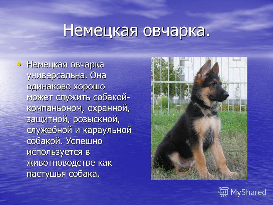 Немецкая овчарка. Немецкая овчарка универсальна. Она одинаково хорошо может служить собакой- компаньоном, охранной, защитной, розыскной, служебной и караульной собакой. Успешно используется в животноводстве как пастушья собака. Немецкая овчарка униве