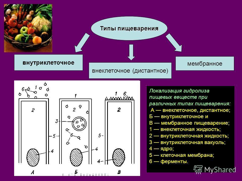 Типы пищеварения