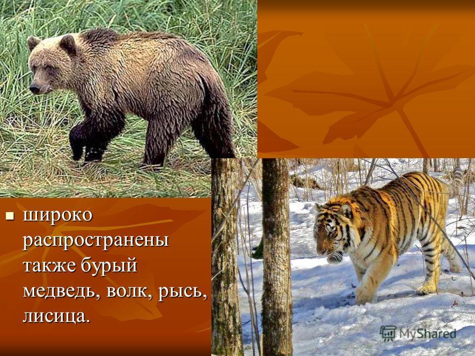 широко распространены также бурый медведь, волк, рысь, лисица. широко распространены также бурый медведь, волк, рысь, лисица.