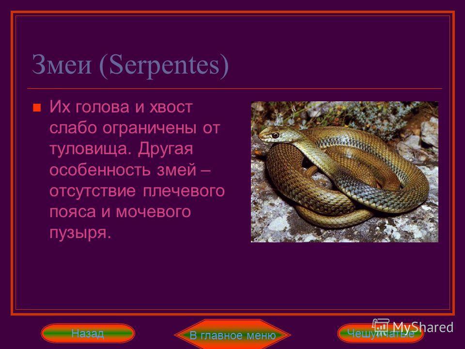 Змеи (Serpentes) Их голова и хвост слабо ограничены от туловища. Другая особенность змей – отсутствие плечевого пояса и мочевого пузыря. Простота и однообразие внешней формы тела обусловлены строением костного скелета, который состоит только из череп