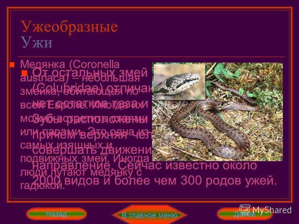 Ужеобразные Ужи От остальных змей ужеобразные (Colubridae) отличаются тем, что у них нет остатков таза и задних конечностей. Зубы расположены в обеих челюстях, причём верхняя челюсть не может совершать движения в вертикальном направление. Сейчас изве