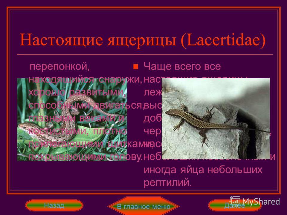 Настоящие ящерицы (Lacertidae) Все виды этих ящериц живут только в Старом Свете. Они отличаются вальковато-вытянутым туловищем, длинным и хрупким хвостом, четырьмя пятипалыми ногами, барабанной Далее В главное меню перепонкой, находящийся снаружи, хо