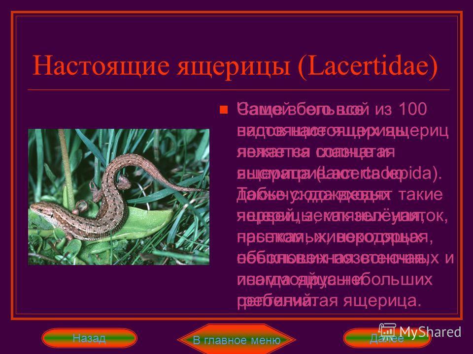 Чаще всего все настоящие ящерицы лежат на солнце и высматривают свою добычу: дождевых червей, земляных улиток, насекомых, некоторых небольших позвоночных и иногда яйца небольших рептилий. Настоящие ящерицы (Lacertidae) Далее В главное меню Назад пере