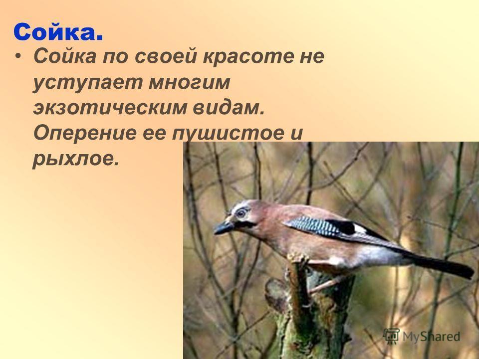 Сойка. Сойка по своей красоте не уступает многим экзотическим видам. Оперение ее пушистое и рыхлое.