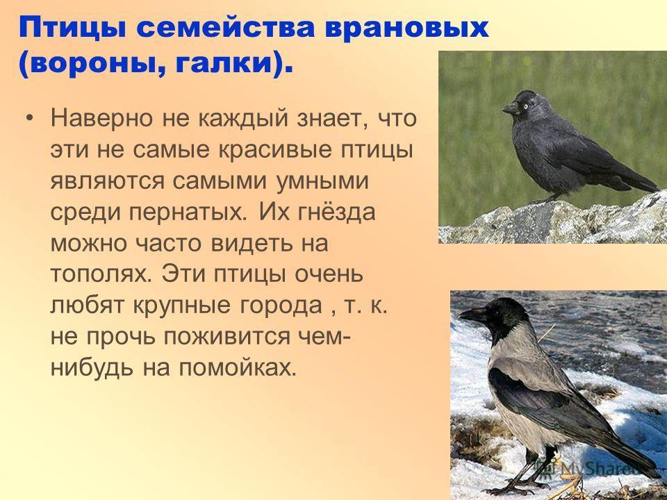 Птицы семейства врановых (вороны, галки). Наверно не каждый знает, что эти не самые красивые птицы являются самыми умными среди пернатых. Их гнёзда можно часто видеть на тополях. Эти птицы очень любят крупные города, т. к. не прочь поживится чем- ниб
