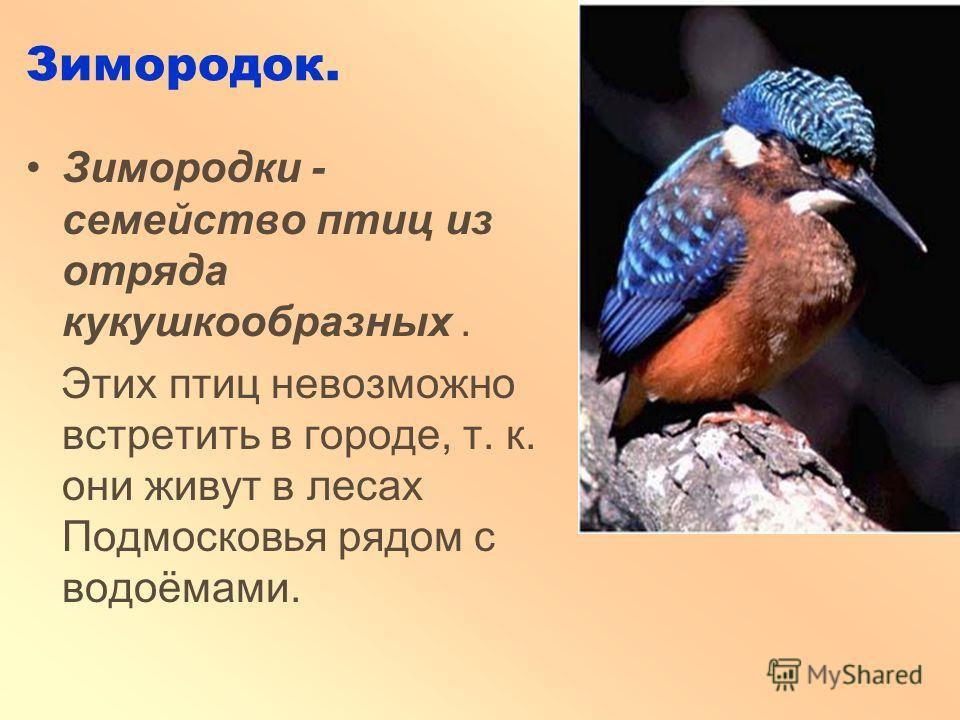 Зимородок. Зимородки - семейство птиц из отряда кукушкообразных. Этих птиц невозможно встретить в городе, т. к. они живут в лесах Подмосковья рядом с водоёмами.