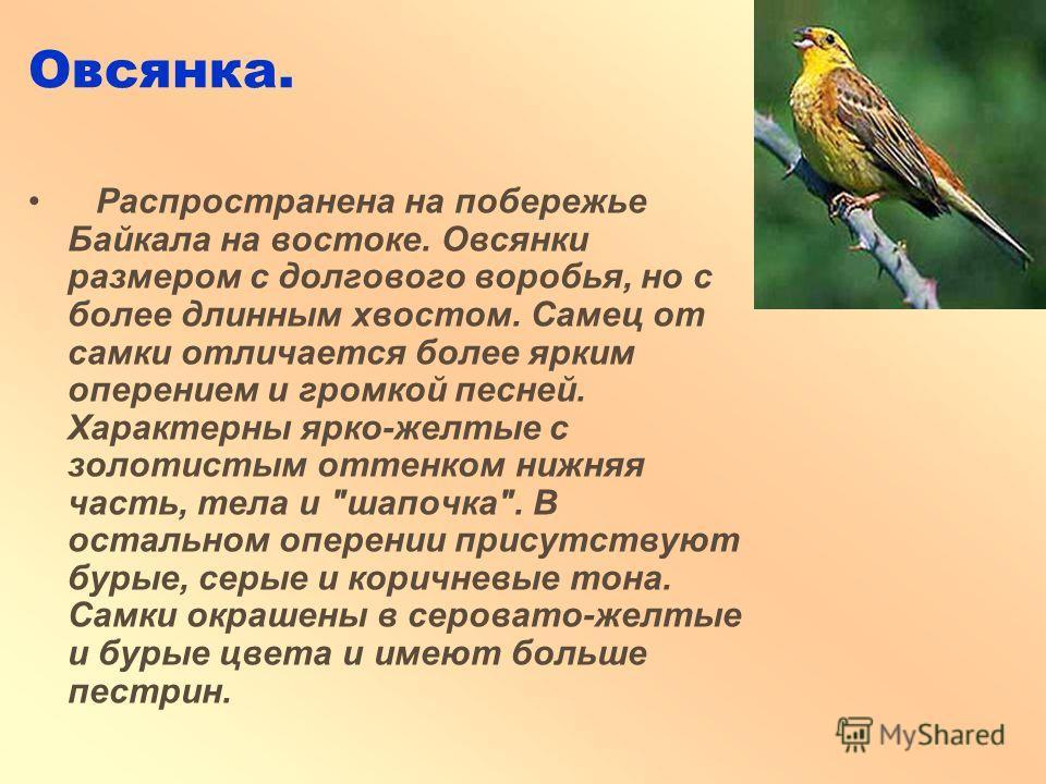 Овсянка. Распространена на побережье Байкала на востоке. Овсянки размером с долгового воробья, но с более длинным хвостом. Самец от самки отличается более ярким оперением и громкой песней. Характерны ярко-желтые с золотистым оттенком нижняя часть, те